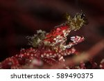 Red Xeno Crab On Whip Coral...