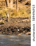 Small photo of African fish eagle (Haliaeetus vocifer) Perching on the Ground