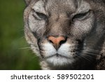 puma or cougar close to...   Shutterstock . vector #589502201