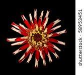 Fading Red Zinnia Elegans Isolated on Black Background - stock photo