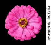 Blossoming Pink Zinnia Elegans Isolated on Black Background - stock photo