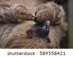 linnaeus's two toed sloth ... | Shutterstock . vector #589558421