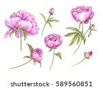 set of watercolor pink peonies. ... | Shutterstock . vector #589560851
