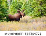 Moose  Denali National Park An...