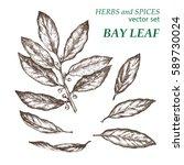 bay leaf.  botanical... | Shutterstock .eps vector #589730024