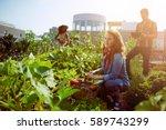 friendly team harvesting fresh... | Shutterstock . vector #589743299