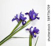 Violet Irises Xiphium  Bulbous...
