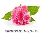 Beautiful Pink Hydrangea Flowe...
