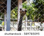 Ostrich In A Cage In A Zoo.