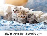 Stock photo close up of cute kitten play and lying on the bed in home 589808999