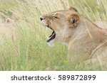 Small photo of Lioness roaring