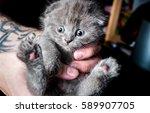 Stock photo british kitten in human hands 589907705