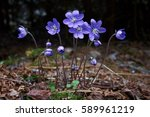 Blue Wildflower Hepatica...