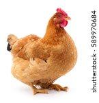 brown hen isolated on white ... | Shutterstock . vector #589970684