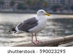 Small photo of American Herring gull perched on a railing with a blurred out background.