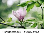 blossoming of pink magnolia... | Shutterstock . vector #590025965