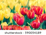 Beautiful Tulip Flower And...