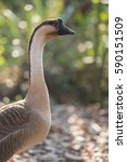 Small photo of The Chinese goose is a breed of domesticated goose descended from the wild swan goose. Chinese geese are large size, and in having an often strongly developed basal knob on the upper side of the bill.