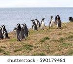a group of magellanic penguin ... | Shutterstock . vector #590179481