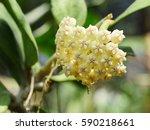 Hoya  Wax Plant  Hindu Rope...