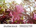 flowering branch of... | Shutterstock . vector #590231759