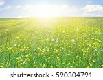 meadow with flowering buttercup | Shutterstock . vector #590304791