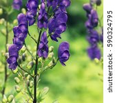Small photo of Blossom of Monkshood or Aconitum napellus flower