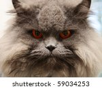 Stock photo portrait serious british cat with orange eye 59034253