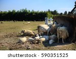 flock sheep in the field with... | Shutterstock . vector #590351525