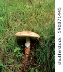 Small photo of Mature wild mushroom Amanita rubescens growing in a grass lawn