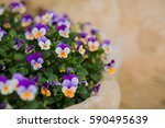 Viola Tricolor Blue And Purple...