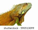 Portrait Of Big Iguana On...