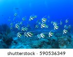 Bannerfish Fish On Coral Reef...