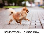 Pomeranian Spitz Dog On A Walk. ...