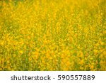 crotalaria flower blooming in a ... | Shutterstock . vector #590557889
