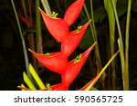 Red Heliconia  Martinique ...