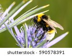 Bee Pollinating Sea Holly...