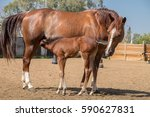 A Brown Mare And Her Foal At...