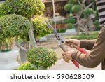 hands are cut green bush... | Shutterstock . vector #590628509