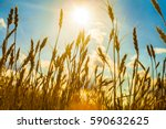 field with gold ears of wheat in sunset. yellow wheat field and blue sky summer background. row eco bio food concept.