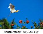 flying  white heron   bali ... | Shutterstock . vector #590658119