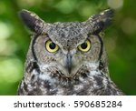 Stock photo great horned owl 590685284