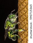 Small photo of Bee green - Euglossa sp - Green Bee close up - Agapostemon sp. macro photo
