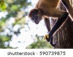 A Spider Monkey Snacks On A...