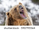 Grizzly Roaring a Warning