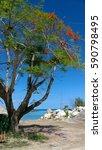 Small photo of Blossoming Acacia on La Digue, Seychelles