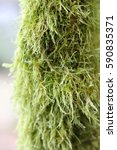 Small photo of Hairy Moss