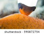 Clownfish Mother Nemo With...