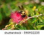 carpenter bee closeup working ... | Shutterstock . vector #590932235