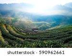 tea plantations in morning light | Shutterstock . vector #590962661